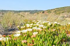 O Algarve: Dunas com as plantas edulis do Carpobrotus, Costa Vicentina Portugal imagens de stock royalty free