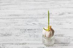 O alho brotou em uma lata com água em um fundo de madeira branco do vintage foto de stock