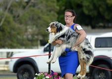 O alimentador engraçado do expositor de ANKC tem que levar o pastor australiano enquanto o cão da mostra recusa andar no anel Fotos de Stock Royalty Free