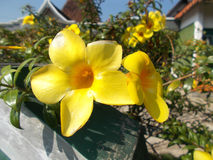O Allamanda floresce o alamanda amarelo Fotografia de Stock Royalty Free