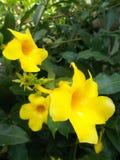 O Allamanda floresce o alamanda amarelo Foto de Stock Royalty Free