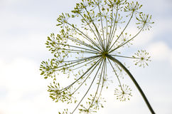 O Allium, fim acima, não florescendo, fundo do céu, olha como um fogo de artifício Foto de Stock
