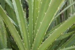 O aloés verde fresco sae perto acima em um fundo borrado de um arbusto imagens de stock