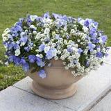 O Alyssum Gem White Brilliant grande com violeta azul como uma decoração do jardim imagem de stock
