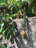 O amadurecimento das bananas Fotografia de Stock Royalty Free