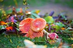O amanita Muscaria cresce rapidamente no jardim, cogumelos venenosos fotografia de stock royalty free