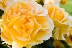 O amarelo bonito levantou-se em um jardim Foto de Stock