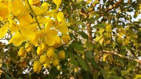 O amarelo brilhante da foto floresce a cássia 2 imagem de stock
