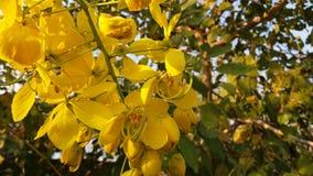 O amarelo brilhante da foto floresce a cássia 1 fotos de stock royalty free