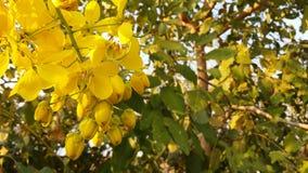 O amarelo brilhante da foto floresce a cássia fotos de stock