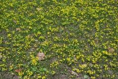 O amarelo brilhante floresce a prímula Fotografia de Stock