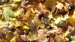 O amarelo ca?do sae na terra no outono vídeos de arquivo