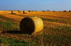 O amarelo colheu cédulas do trigo no campo Fotos de Stock