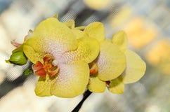 O amarelo com fim vermelho da orquídea dos pistilos acima do ramo floresce imagens de stock royalty free