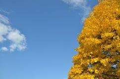 O amarelo deixa a árvore no outono Fotografia de Stock