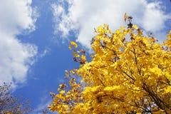 O amarelo deixa o outono do céu azul Imagens de Stock