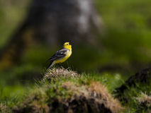 O amarelo dirigiu o canto do pássaro da alvéola Imagem de Stock