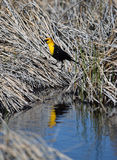 O amarelo dirigiu a reflexão preta do pássaro Imagem de Stock Royalty Free