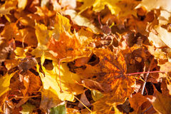 O amarelo do outono deixa o fundo Fotografia de Stock Royalty Free