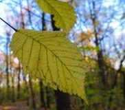 O amarelo do outono sae em raios do sol na floresta do outono Fotografia de Stock