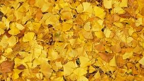 O amarelo do ` s de Biloba da nogueira-do-Japão sae no outono imagens de stock royalty free