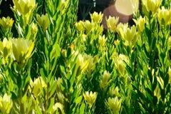 O amarelo amarelo e verde do arbusto floresce as folhas verdes foto de stock royalty free