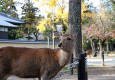O amarelo ereto do fundo dos cervos deixa a árvore do outono no parque em Nara, Japão Foto de Stock Royalty Free