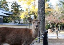 O amarelo ereto do fundo dos cervos deixa a árvore do outono no parque em Nara, Japão Fotografia de Stock