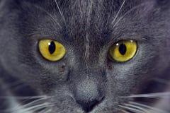 O amarelo eyes o gato cinzento Fotos de Stock