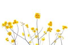 O amarelo floresce a árvore no fundo do céu da vista superior, flores amarelas Fotos de Stock Royalty Free