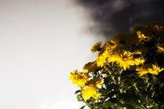 O amarelo floresce a Fotografia de Stock