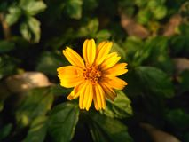 O amarelo floresce a beleza na natureza Imagens de Stock Royalty Free