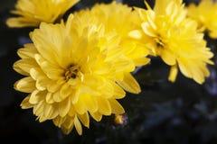 O amarelo floresce c Imagem de Stock Royalty Free