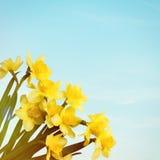 O amarelo floresce narcisos amarelos no fundo do céu azul Foto de Stock Royalty Free