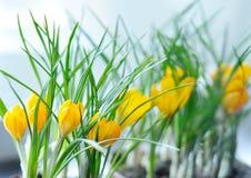 O amarelo floresce o açafrão Imagem de Stock Royalty Free