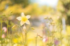 O amarelo floresce o aquilegia em um fundo bonito Foco seletivo imagens de stock
