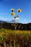 O amarelo floresce o céu azul foto de stock
