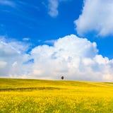 O amarelo floresce o campo verde, a árvore de cipreste só e o céu nebuloso azul Imagem de Stock Royalty Free