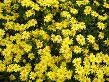 O amarelo floresce o fundo Imagens de Stock Royalty Free