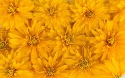 O amarelo floresce o fundo Fotografia de Stock Royalty Free