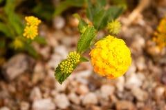 O amarelo floresce o fundo Imagens de Stock