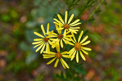 O amarelo floresce o groundsel Jacob (o yakobaea do Senecio) Foto de Stock Royalty Free