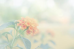 O amarelo floresce o vintage com filtro branco Fotografia de Stock Royalty Free