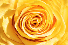 O amarelo levantou-se Imagem de Stock