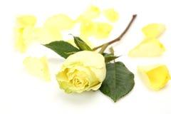 O amarelo levantou-se Fotos de Stock