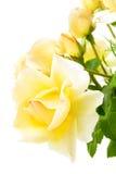 O amarelo levantou-se Fotos de Stock Royalty Free