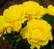 O amarelo levantou-se Fotografia de Stock