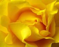 O amarelo levantou-se. Imagem de Stock