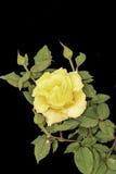 O amarelo levantou-se em um fundo preto Fotografia de Stock