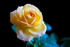 O amarelo levantou-se em um fundo preto Fotos de Stock Royalty Free